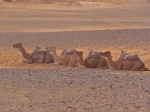 Camels resting - Morocco