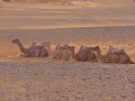 Camels resting - Morocco