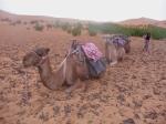 Camels - Caravan - Erg Chebbi - Morocco